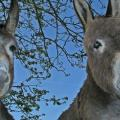 garden-donkeys.jpg