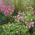 jardin fleuri aux cosmos 50%.JPG